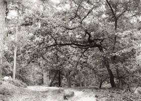 Chêne à Fontainebleau